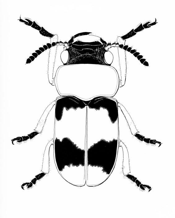 coptocephalus-1